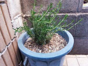 鉢植えローズマリー