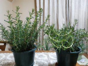 立木性と匍匐性
